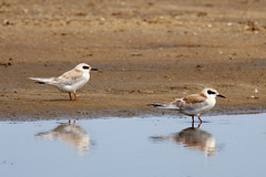 Forster's Terns (Immature)