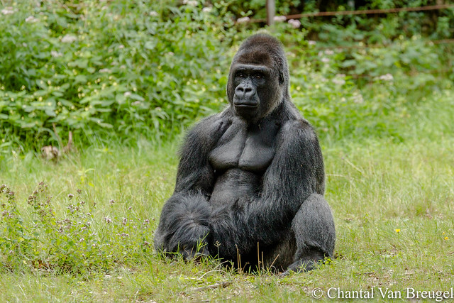 Gorilla, Canon EOS 5D MARK III, Canon EF 70-300mm f/4-5.6L IS USM
