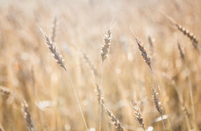 elokuu kypsä vilja ruis luontokuva (1 of 1)