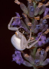 Goldenrod Crab Spider (Misumena vatia) eating a Jumping Spider (Salticidae) ...