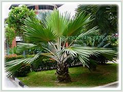 Captivating Latania loddigesii (Blue Latan Palm, Latan Palm, Blue Latania Palm) that was seen @ Rimba Ilmu Botanic Garden, Kuala Lumpur - 1 Aug 2009