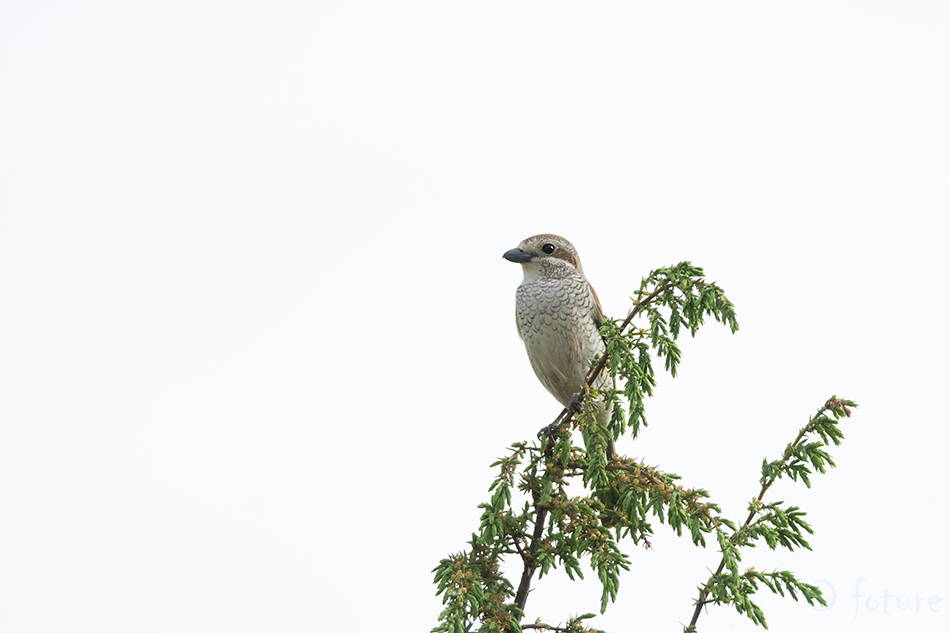 Punaselg, õgija, Lanius, collurio, Red, backed, Shrike, Estonia, Kaido Rummel
