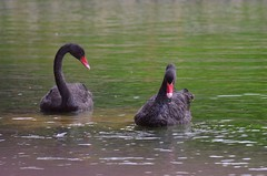 Bird Black Color Red Lake No People Black Swan Beak Swimming Portrait Closing Close-up Nature Outdoors Day Swan Nature