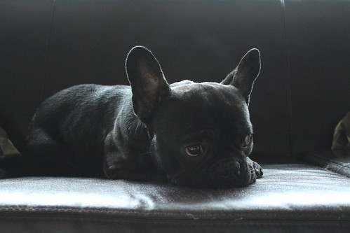 Pablo the Frenchie