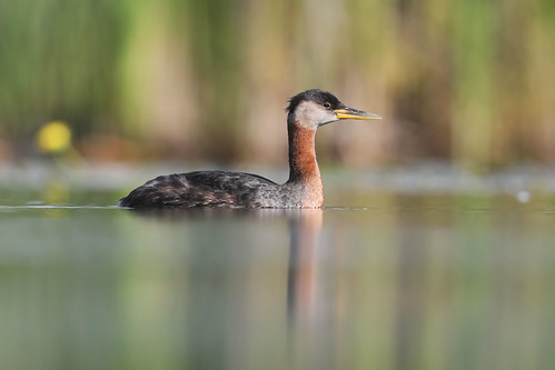Grèbe jougris / red-necked grebe
