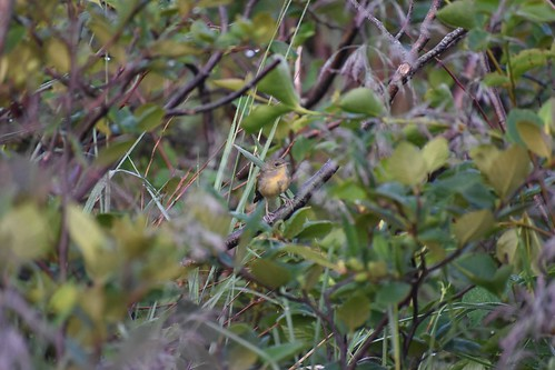 doc shot recently fledged Common Yellowthroat