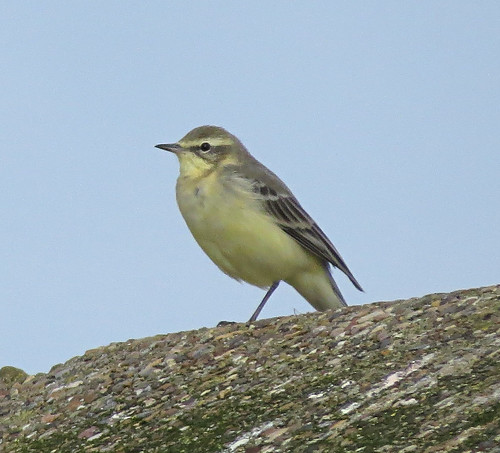 Yellow Wagtail Motacilla flava flavissima Tophill Low NR, East Yorkshire August 2017