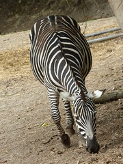 Cerza Zoo - zebra (2) - Photo of Beuvillers