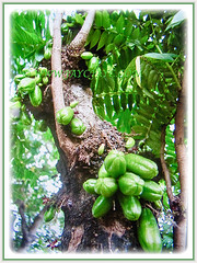 Lovely fruits of Averrhoa bilimbi (Bilimbi, Bilimbi Tree, Cucumber Tree, Tree Sorrel, Belimbing Asam/Buloh in Malay)