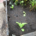 napa cabbage planting in In Ground Bed 1 by midiprincess