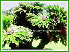 Multi-trunked Cycas revoluta (Japanese Sago Palm, King Sago, Sago Cycad, Sago Palm), 14 Aug 2017