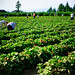 U-Pick (Pick by yourself) Strawberry and Blueberry Fields in Langley, BC Canada.