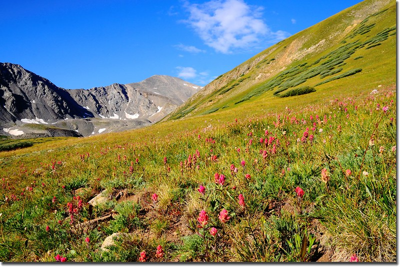 Wildflower with Grays Peak in the distance