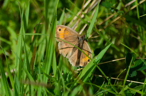 Meadow brown butterfly resting on grass stem