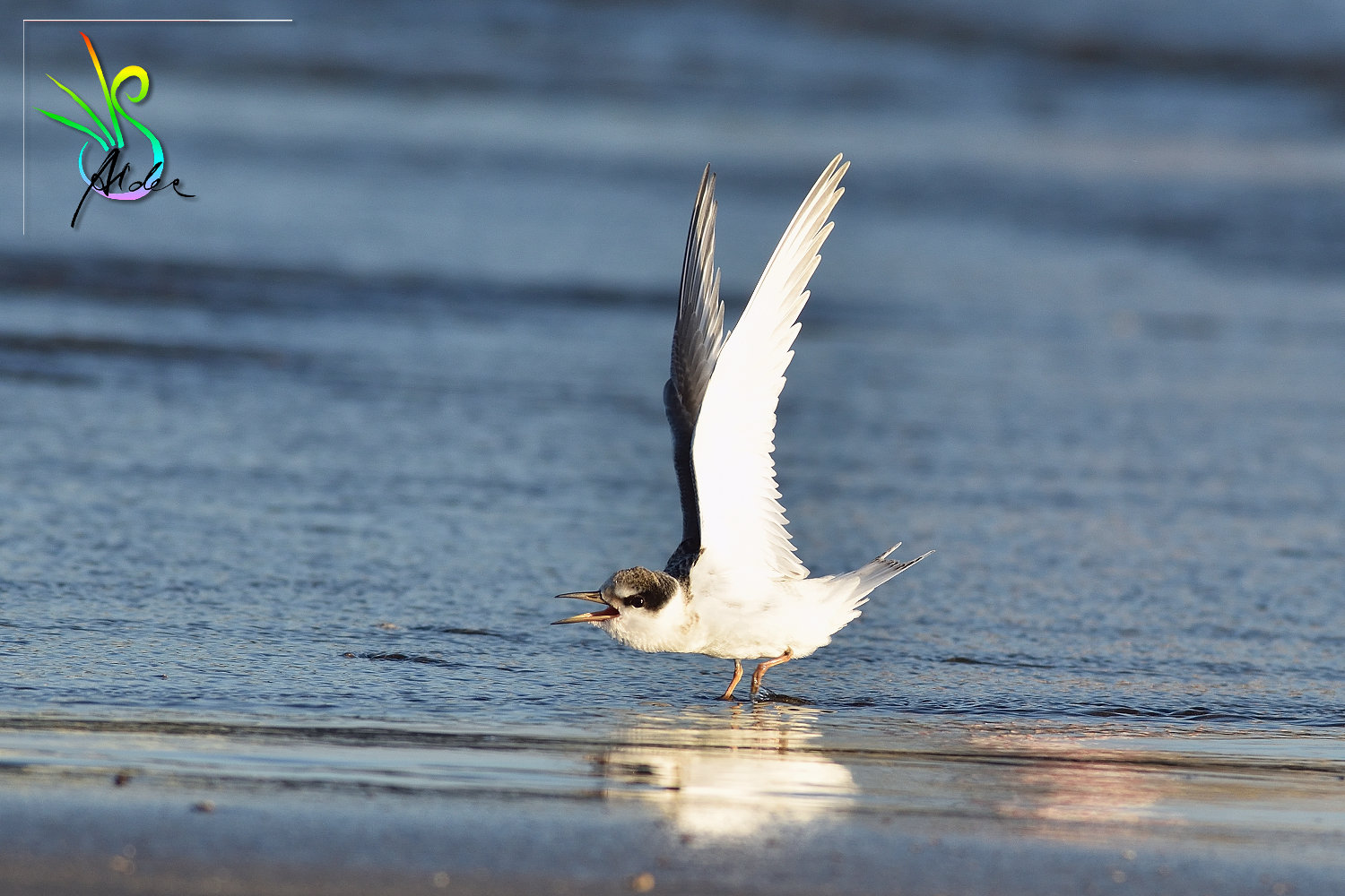 Little_Tern_3562