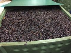 14 - Wine mash 01 / Weinmaische 01