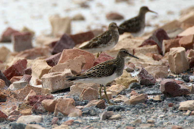 IMG_5642PectoralSandpipers
