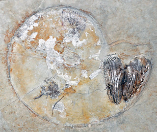 Ammonite fossil with in-situ aptychi (Solnhofen Limestone, Upper Jurassic; Bavaria, Germany) 2