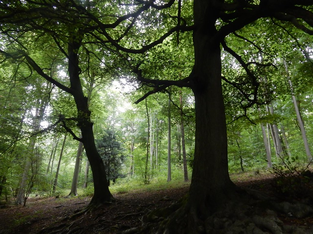 Trees in a wood Wendover Circular via Swan Bottom