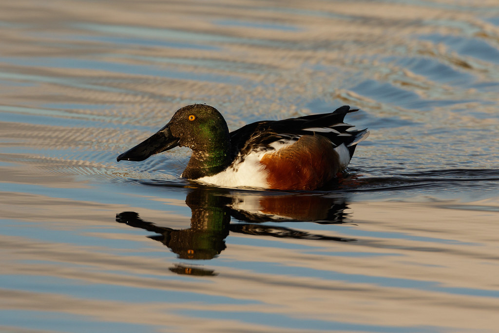 A male northern shoveler swims late on a winter afternoon