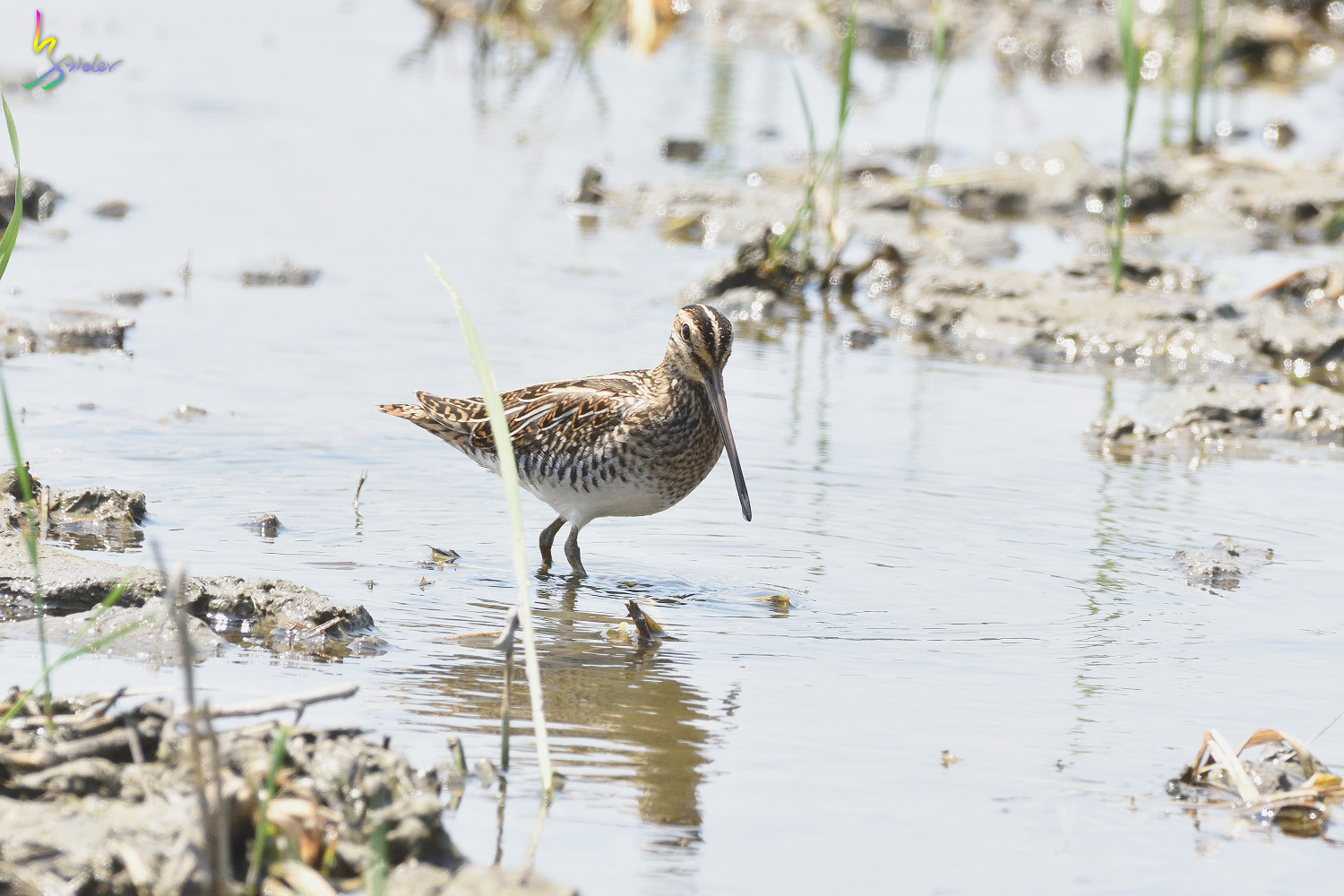 Common_Snipe_7564