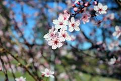 2017 Cherry Blossoms 2