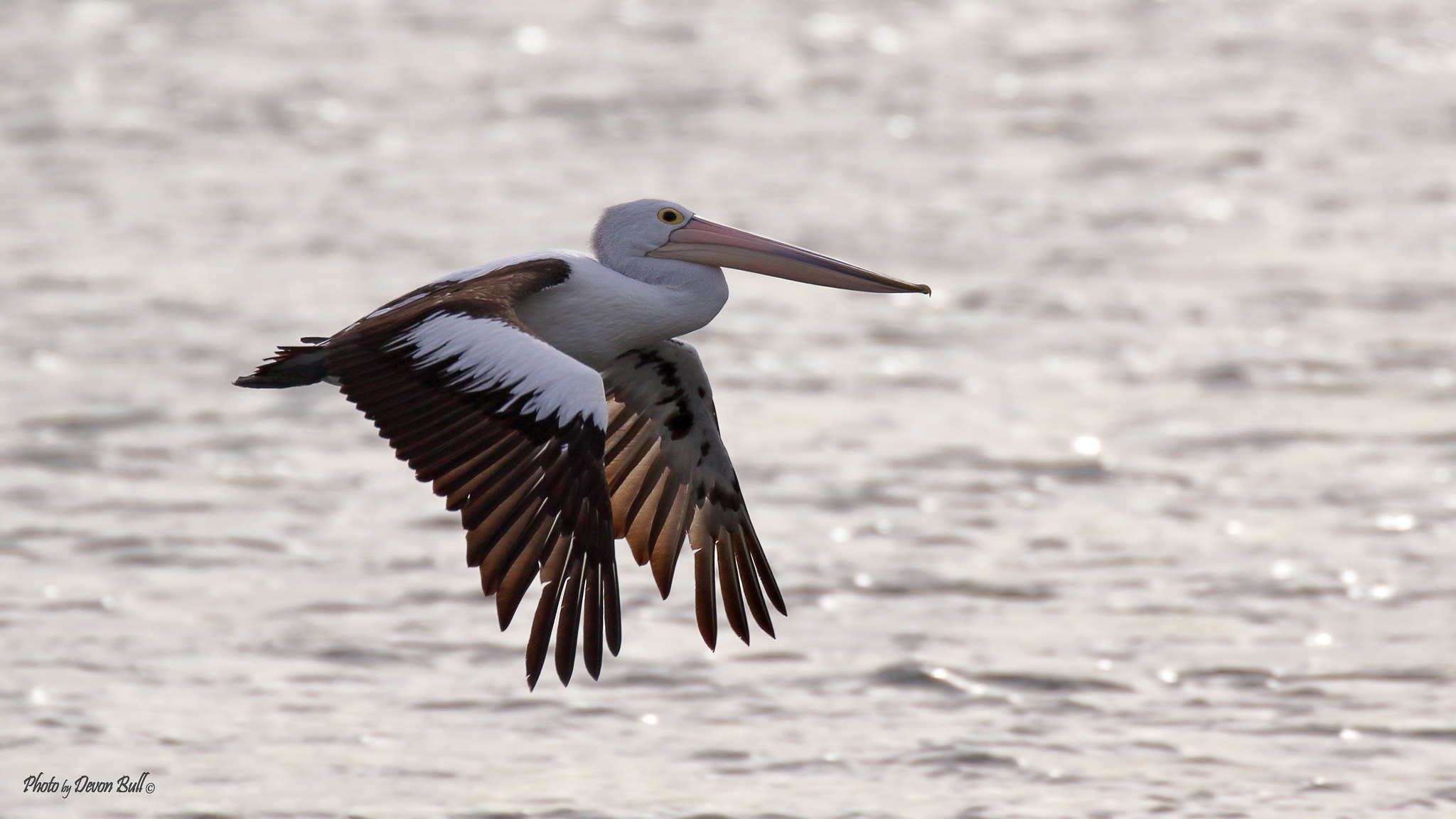 Pelican in flight 2