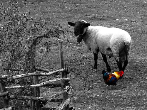Le coq et le bélier