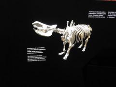 A rhino skeleton from the general area- rhinos, in Azerbaijan?