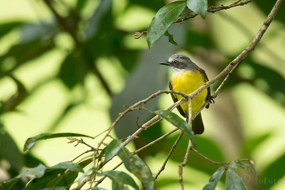 Hallpea, masktikat, Myiozetetes, granadensis, Grey, capped, Flycatcher, Sarapiqui, valley, Costa Rica, Kaido Rummel