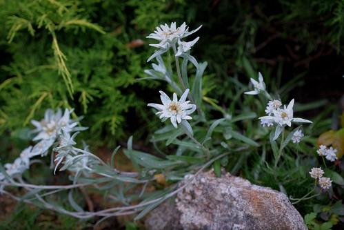 Leontopodium nivale subsp. alpinum - edelweiss  35626907534_0c817b330b