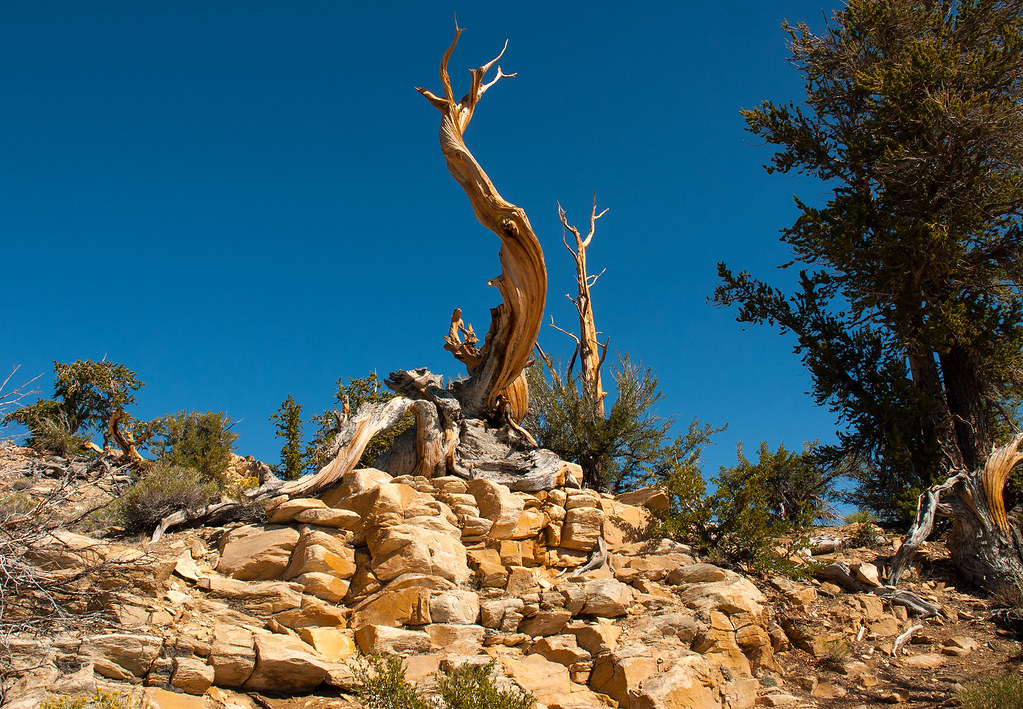 Ancient Bristlecone Forest (9 of 25)