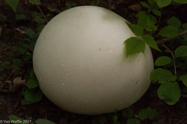 Calvatea gigantica, Giant puffball