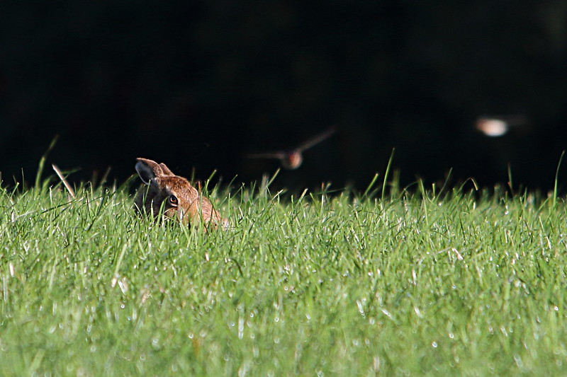 Hare and Swallow