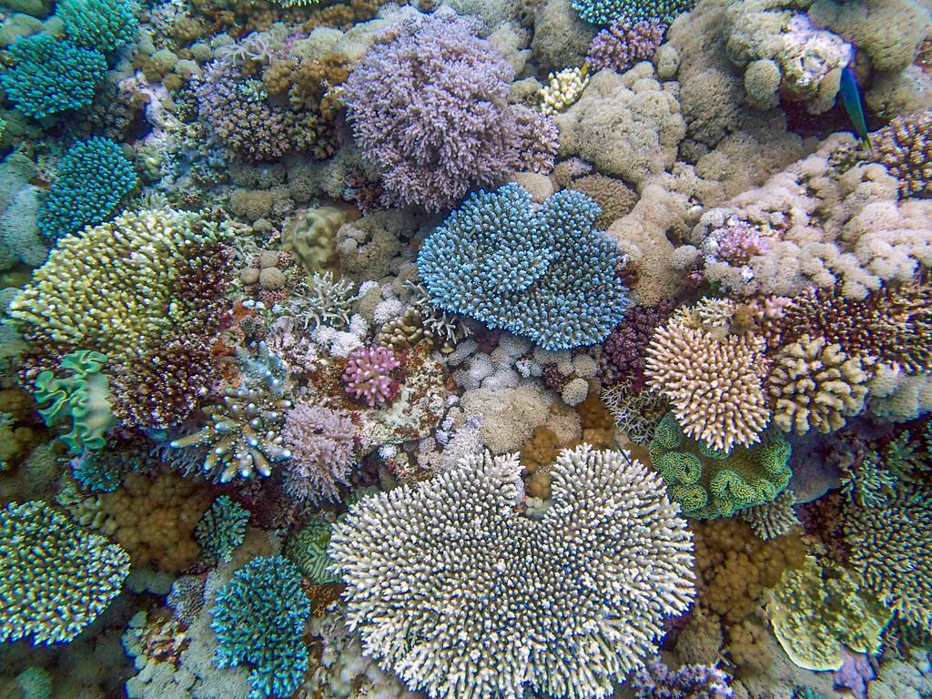 Koraller ved Great Barrier Reef