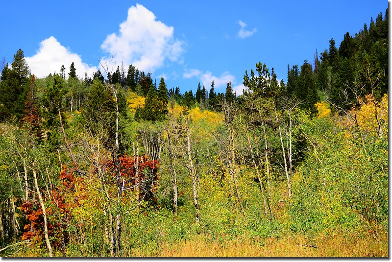 Aspen leaves are turning yellow 1
