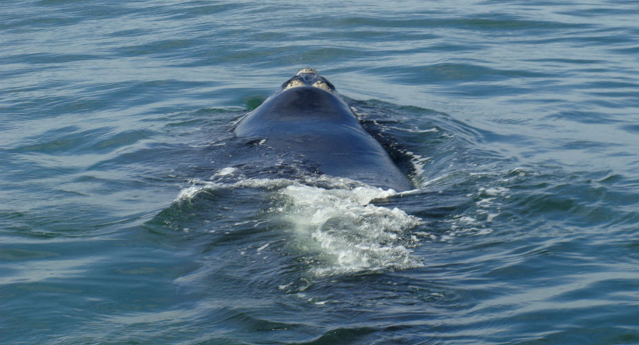 Walvissen spotten in Zuid-Afrika: Hermanus | Mooistestedetrips.nl