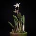 Small photo of Cattleya sp. aff. reginae