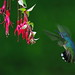 Hummer approaching flower © by The Digital Surgeon is back