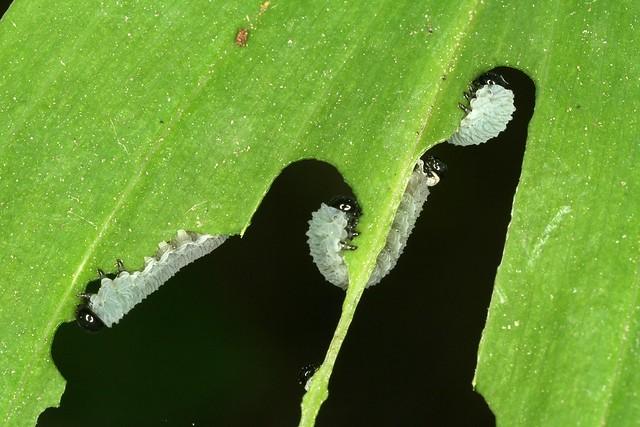 Fausses chenilles, larves d'un hyménoptère tenthredinidé, Phymatocera aterrima.