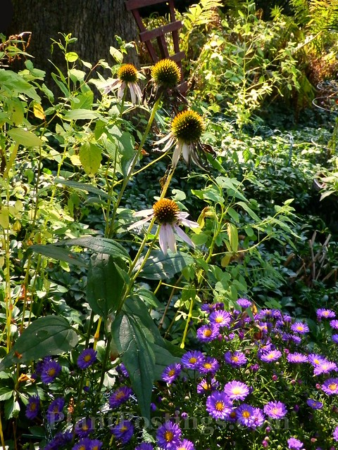 coneflowers and asters