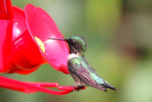 rubythroated hummingbird male