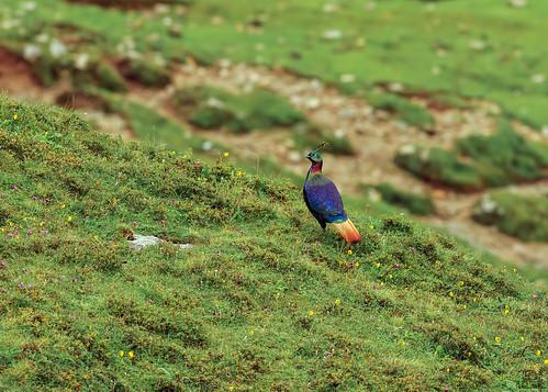 Himalayan-Monal-Male