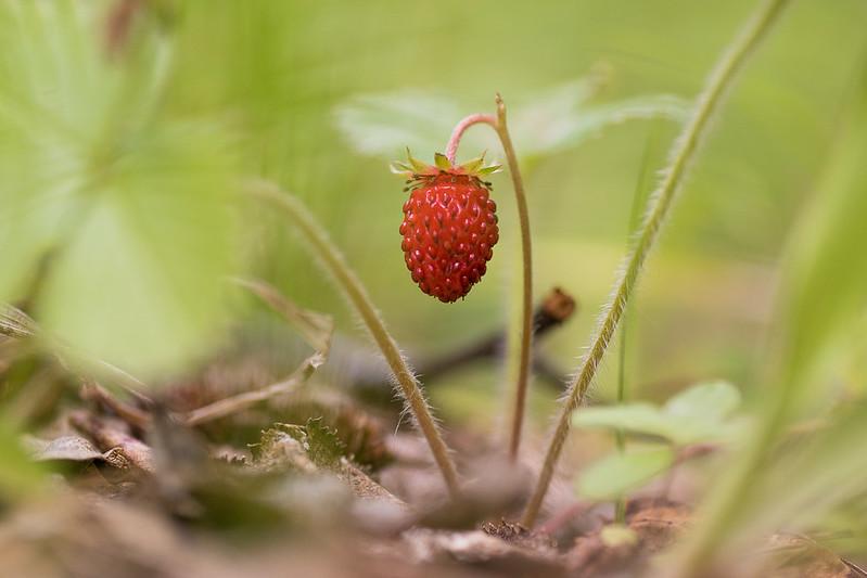 Fragaria vesca, wild strawberry
