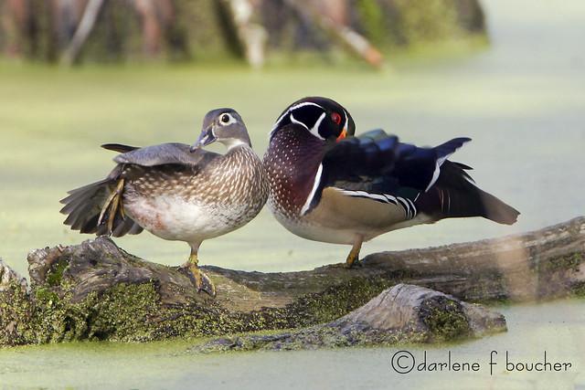 wood ducks, Canon EOS D60