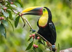 Black-manibled Toucan