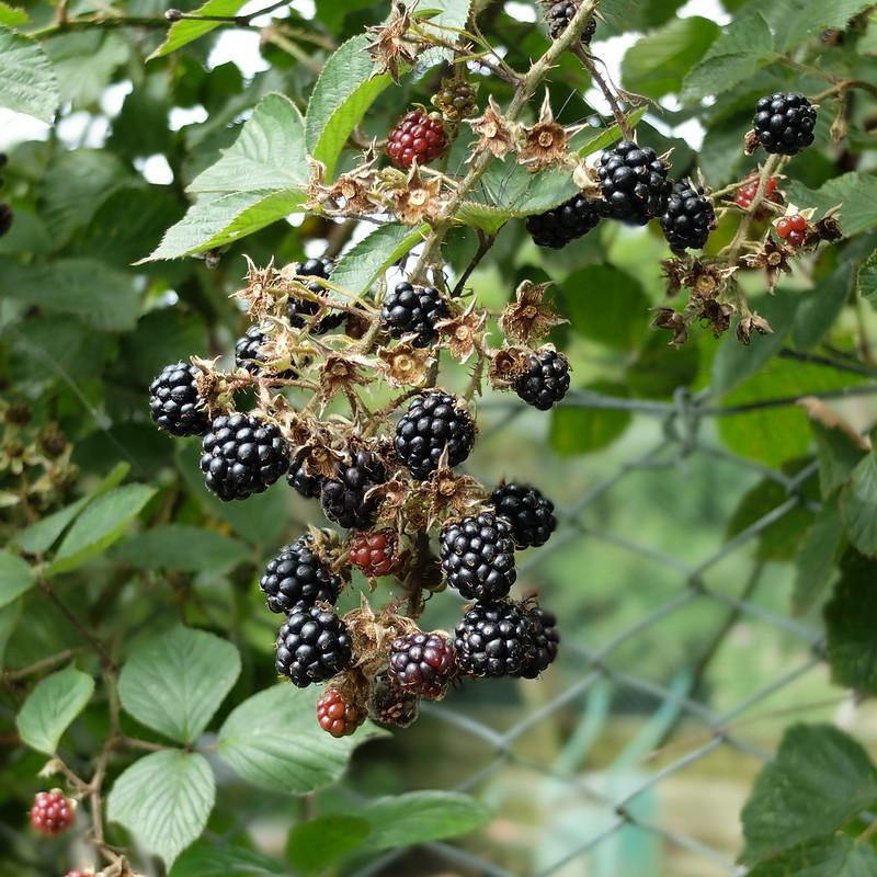 Blackberry picking @porcelinasworld