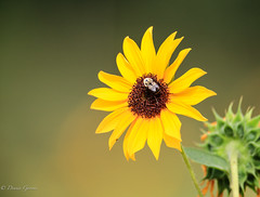 Another Sunflower and Bee