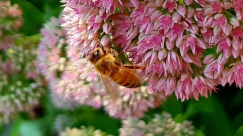Bee on stonecrop