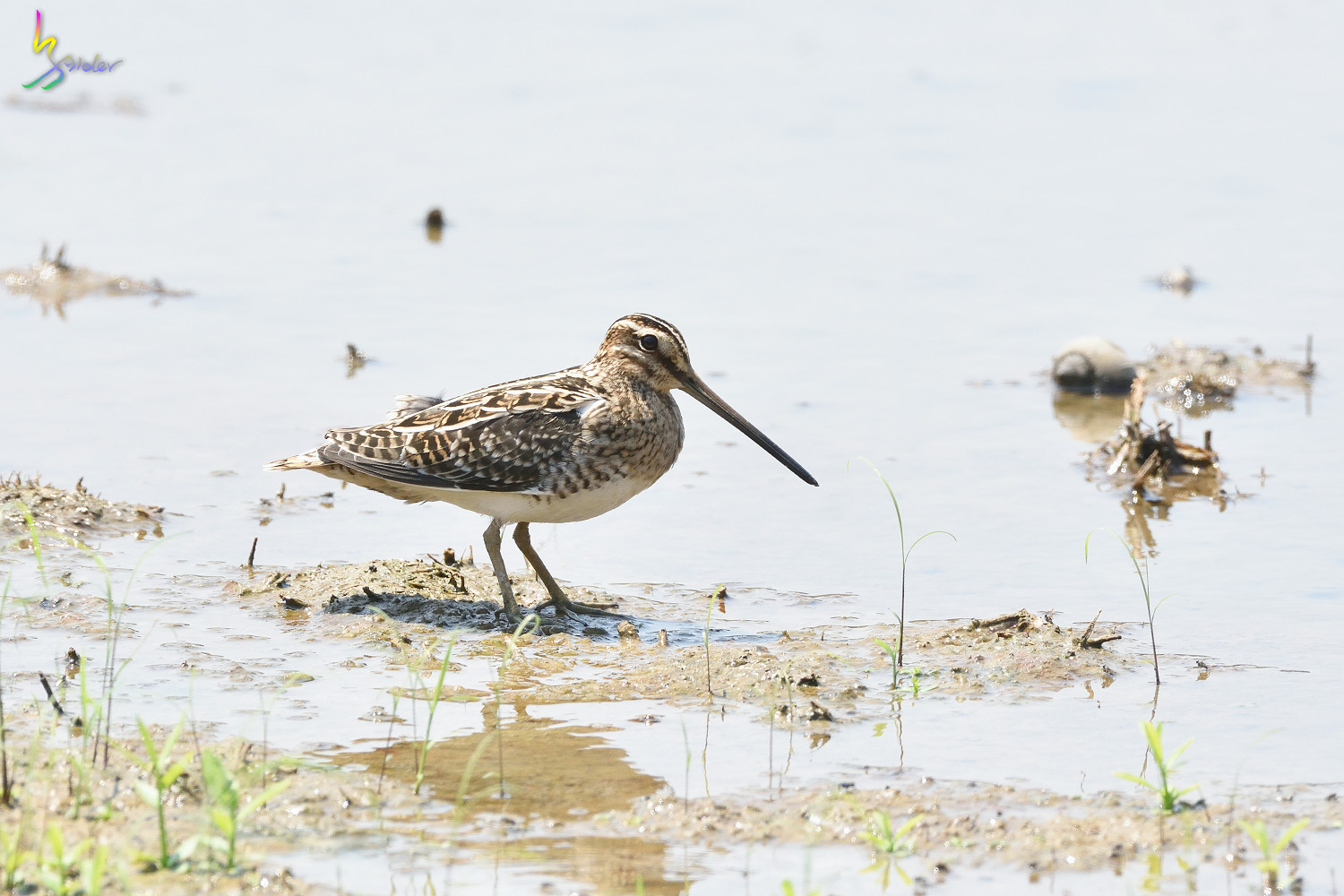 Common_Snipe_7667
